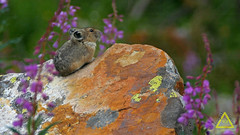 Pika and Fireweed (jerefolgert) Tags: huckleberry pika ochotona princeps montana wyoming yellowstone cute fur feet close beautiful carry mouth lichen moss talus mountains summer fireweed purple orange rock flower wildlife coney rockrabbit wilderness