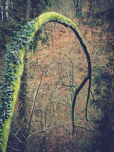 Bogenbaum