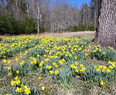 """~ Just Another """" Daffy Day"""" On The Hill Side  .... (~ Cindy~) Tags: daffodils hillside home"""
