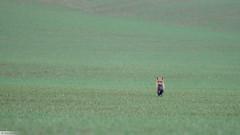 Renard roux (Vulpes vulpes) Red fox X-T2 XF100-400 (explored) (Denis.R) Tags: redfox renard vulpesvulpes france lorraine moselle libre sauvage free wildlife mamifère roux fuji xt2 xf100400 denisr denisrebadj wwwdenisrebadjcom