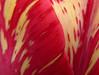 tulipmacro19
