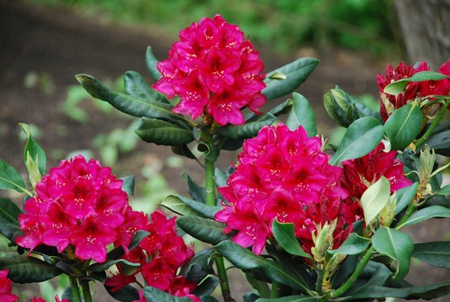 Rhododendrons in the cottage garden