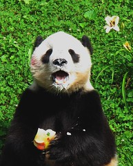 Tai sings Happy Birthday to Susie/Cubsfan! (RoxandaBear) Tags: flowers summer yellow zoo purple eating july tai lilly nationalzoo giantpanda 2009 306 pandas 4thbirthday birthdayweek taishan 7909 fruitie yard2 theunforgettablepictures 79092