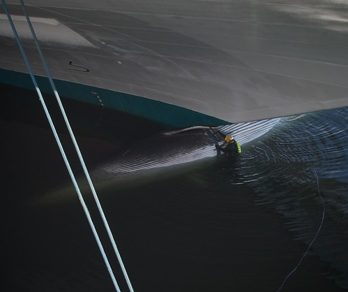 Removing an impaled whale