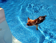 """LEFT PAW, RIGHT PAW.....HEY, I'M SWIMMING"" (kevinh_photos) Tags: dog pool backyard tanning ralphie kevinhphotos"