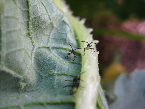 Squash Bug babies