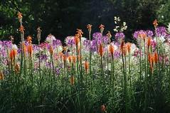 Evening Glow in Kew Gardens (picaddict) Tags: uk flowers orange kewgardens white green london eveningsun blumen explore lilac botanicalgarden abendsonne kniphofia cleomespinosa fackellilie mywinners photosexplore explorewinnersoftheworld spinnenpflanze