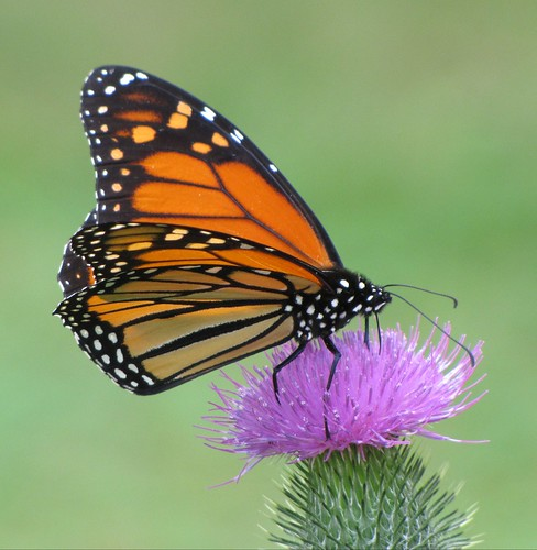 Monarch Butterfly Feeding On A Thistle Flower #5