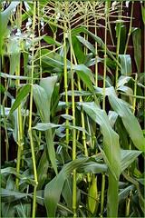 Corn Field (FelixSS) Tags: corn mais maize korn millo milho koren majs msr maz mas  jagung kukurydza kukuruz  kukurica  mielie misri ng     koruza kukuice  krna  kukurzai  suhkrumais maissista arbhar nafaka kukorict kukuruse kukurza