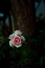 My Precious (FineTemps) Tags: pink love beauty rose mystery solitude joy romance triste myprecious uncontrolled