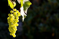 Weintrauben (mac.black) Tags: licht sommer pflanze pflanzen sonne frucht reben wein ernte frchte rosine rebe weinrebe kletterpflanze weintraube weintrauben rosinen weinreben weinbeere kletterpflanzen weinbeeren
