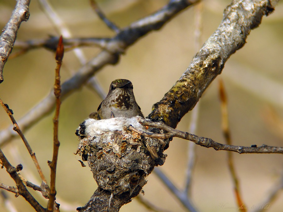 Anna's Hummingbird nest baby f02091-6