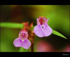 Laughing faces! (R.Sreeram) Tags: pink flowers india macro green closeup laughing karnataka kudajadri kudajadrihills