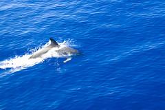 Dolphin watching trip (Alex Pinto) Tags: azul island mar dolphin gorgeous dolphins bonita viagem madeira passeio oceano atlantico golfinho golfinhos oceanoatlantico bonitadamadeira