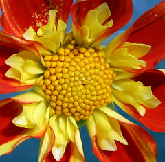 Dahlia 'Pooh' (Misty Jane) Tags: dahlia red flower nature yellow petal pooh 1001nights platinumheartaward awesomeblossoms 100commentgroup flickrflorescloseupmacros xtremeboquet platinumbestshot doublefantasy