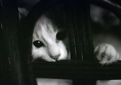 [フリー画像] [動物写真] [哺乳類] [ネコ科] [猫/ネコ] [子猫] [モノクロ写真] [覗く/見る]    [フリー素材]