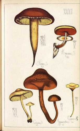 Apucreus, Fusus, Conissans, Gymnopodius et al spp.