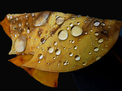 If I were a leaf...... (Pendore) Tags: autumn france fall leaves automne season leaf drops laval bestofthebest feuille saison potofgold gouttesdeau feuillesdautomne newenvyofflickr pendore