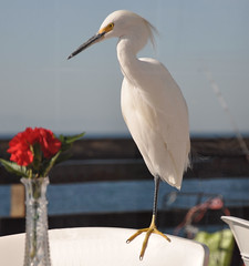 Awwwww...a carnation for me? ( jon argos ) Tags: ocean red sky brown white green eye glass breakfast golden beige glare pacific newportbeach explore pacificocean socal vase carnation railing southerncalifornia distillery egret fishingpole goldeneye throughawindow glassvase lisame chairbacks martyrobbins redcarnation newportbeachpier rubysdiner greatbalance specanimal avianexcellence jonargos ilovemypics allkindsofbeauty awhitesportcoatandapinkcarnation vosplusbellesphotos awwwwwacarnationforme onefootdown pierrailing