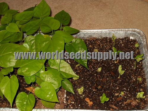 Rivea / Hawaiian Baby Woodrose