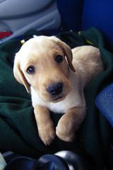 [フリー画像] [動物写真] [哺乳類] [イヌ科] [犬/イヌ] [子犬] [ラブラドール・レトリバー]     [フリー素材]