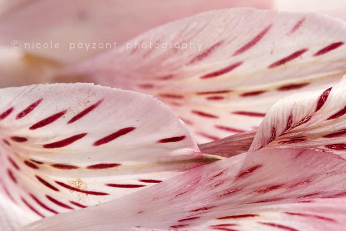 Macro_PinkPetals_2011