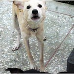 『種類眾多』壽山收容所0528,黃金、柴犬、拉拉、西高地、吉娃娃、雪那瑞、迷你品、哈士奇、梗犬、貓很多、秋田、20110530 thumbnail