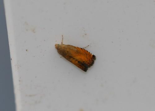 Micro moth sp