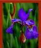 The Last Iris01.jpg
