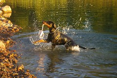 Riki (Tuulan) Tags: summer dogs animals action kes koirat actiondog dobermann