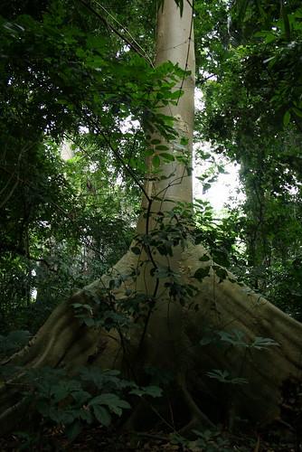 African Mahogany?, Volta Resion, Ghana
