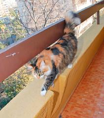 Francisca and Pascuala Week: Day Five (LinoPhilippe) Tags: chile santiago orange cats cat nikon kitten feline chat kitty gatos gato calico felino katze nikkor gatto katzen kot matou chatte chaton ネコ d60 кошка hauskatze قط felidi 1855mmf3556gvr