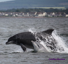 proud mum (CAZ MO) Tags: lighthouse landscape boats seal dolphins inverness blackisle morayfirth fortrose bottlenosedolphins channorypoint