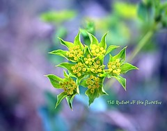 came from a dream into reality... (NURAY YUZBASI) Tags: flowers green yellow happy dof bokeh gorgeous queen 1855mm wildflower thursday ofthe bupleurum naturesfinest canonrebelxti flowersarebeautiful 100commentgroup hggt depthofthefield