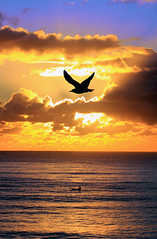 A Seagull morning. (Michael Dawes) Tags: ocean camera beach silhouette yellow photoshop sunrise country australia queensland towns 61 goldcoast burleighheads ef100400mmf4556lisusm canon50d
