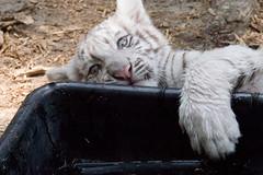 BOO! (jennifernikon) Tags: nc tiger whitetiger tigercub bigcatrescue animalbehavior cnpa rockwellnc tigerworld babywhitetiger