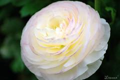White Wonder ( Leanne) Tags: carnival flowers white flower festival nikon d70 australia ranunculus qld queensland toowoomba ranunculacea