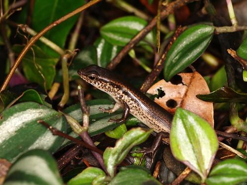 你拍攝的 台灣滑蜥(石龍子科)。