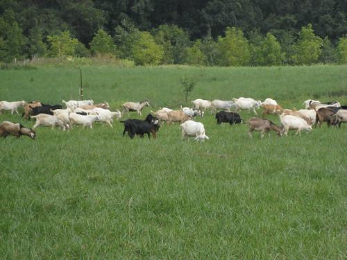 Goats grazing fescue