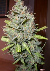Speed Devil (KOREONE) Tags: speed devil marijuana cannabis sativa marihuana indica hierva yerva rudelaris autofloreciente