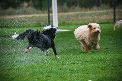 Canon Ball!!! (Anda74) Tags: wet run chase bordercollie launch ouzo drippingwet canonef70200mmf4lusm nofeetontheground poordoodle shewassodry