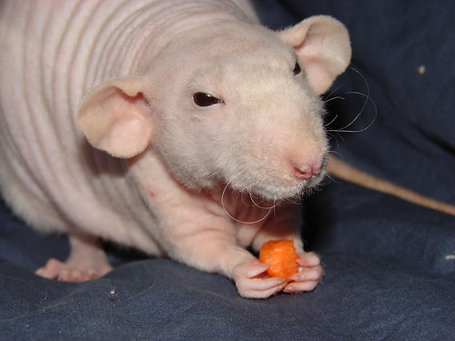 I Need Some Info And Pics Of Hairless Rats