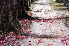 Purple leaves 2