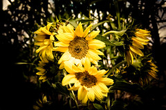 Sunflower (pattoise) Tags: sunflower soe abigfave worldbest newacademy