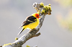 Western Tanager (Robinsegg) Tags: birds places yellowstonenationalpark yellowstone wyoming westerntanager pirangaludoviciana towerfall 2008yellowstone