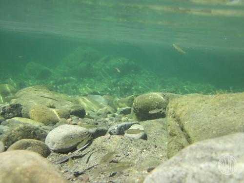 little stream fish
