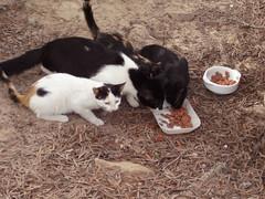 Katzen auf Fuerteventura 1 (Kurt Gritzan) Tags: pet cats pets cute cat feline fuerteventura kittens gatos katzen haustiere