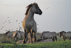 Horse power! (Astrid van Wesenbeeck photography) Tags: horses nature netherlands animals wildlife nederland wildhorses stallion oostvaardersplassen hengst flevopolder konikhorses koniks konikpaarden sigmadg wildepaarden sonya200 astridvanwesenbeeck
