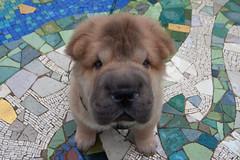[フリー画像] [動物写真] [哺乳類] [イヌ科] [犬/イヌ] [シャー・ペイ]      [フリー素材]