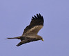 Yellow-billed Kite in flight by Jackie During